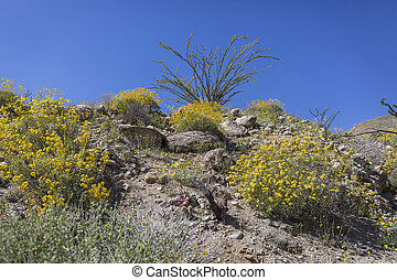 Wildflowers blooming in spring in Anza-Borrego State Park,...
