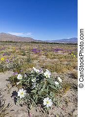Desert Primrose and other wildflowers blooming in...