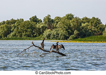 Great cormorants standing on tree branch and drying after...