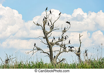 Nesting great cormorants on dried up tree - Photo of nesting...