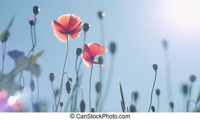 Poppy flowers against the blue sky swaying in the wind....