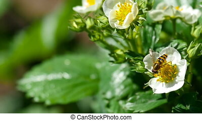 Bee on strawberry flowers - A bee pollinating an strawberry...