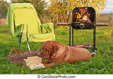 Picnic Reading - Smart Big Dog is Reading a Book while on...
