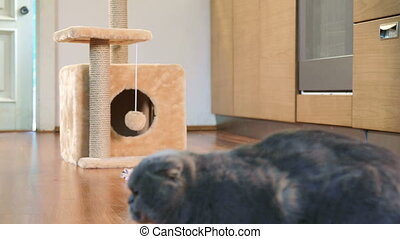 Thoroughbred Scottish Fold cat - Scottish Fold cat runs into...