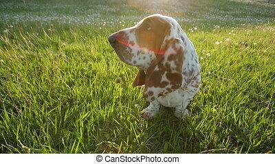 Basset hound on the grass - Basset hound sitting on the...