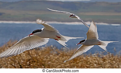 Arctic Terns in Flight - Arctic Terns fly back to the nest...