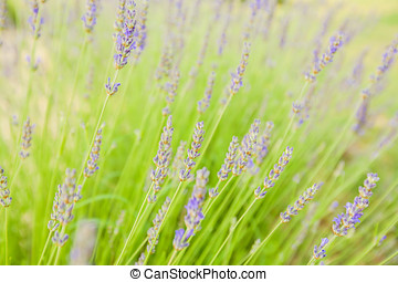Lavender flowers summer season - Lavender flowers blooming,...