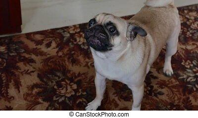 Pug angry dog barking growls pet - Pug angry dog barking...