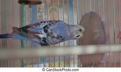 blue budgerigar going out of his cage. - budgerigar going...