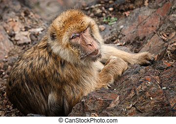 Macaque laying in the rocks and looking to camera