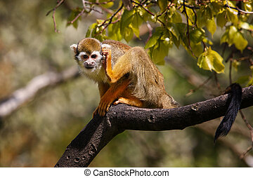 Chapan - Small monkey Ateles Geoffroyi is drunk behind his...