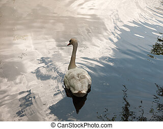 swan on lake surface seen from behind head turned angle from...