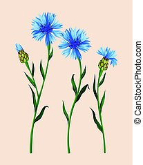 Set of cornflowers - Vector set of detailed cornflowers and...