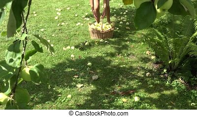 female villager in shorts pick up windfall fruits in apple...