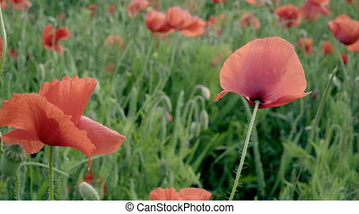 red poppies on the field, big flowers