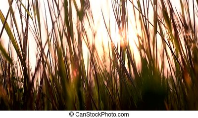 Grass at sunset. Sunset in the meadow.