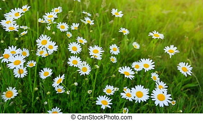 Daisy field in the sunny summer day. - Summer landscape with...