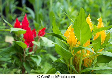 Yellow amaranthus - Focus on the yellow Amaranthus in the...