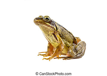 Common brown frog sitting upright preparing to leap - Common...