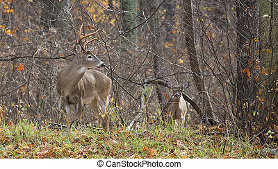 Fall confrontation - whitetail buck looking back at a...