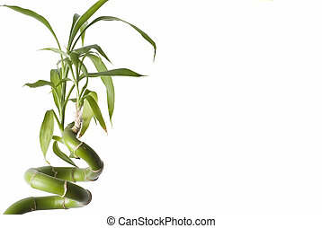 Bamboo plant. - Bamboo plant isolated on a white background.