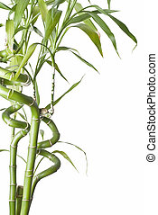 Bamboo 4. - Bamboo plant isolated on a white background.