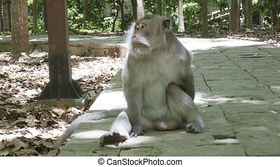 The crab-eating macaque ,Macaca fascicularis, also known as...