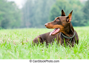 acostado, marrón, Doberman, pinscher