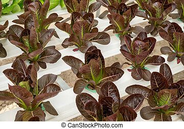 lettuce cultivation on hydroponic system with water and fertilizer in irrigation.