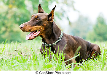 marrone,  doberman,  pinscher, dire bugie