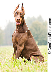sitting brown doberman pinscher - Portrait of sitting...