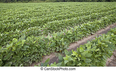 farm field - field on a farm in North Carolina growing soy...