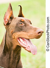 portrait of brown doberman