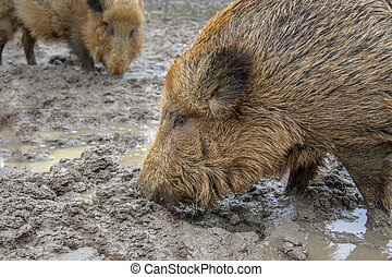 Two feeding Wild Boar (Sus scrofa) in a mud pool with...