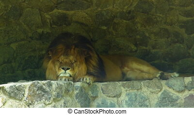 The king of beasts is resting - Big beautiful lion sleeping...