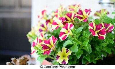 Burgundy Star Petunias - Bicolor Purple and White Easy Wave...