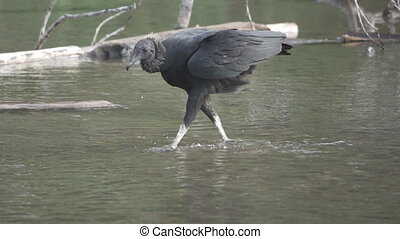 Black Vulture walking over water in super slow motion - Long...
