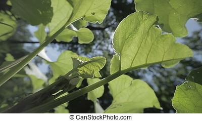 Huge Leaves and Flies against Clear Blue Sky - Huge leaves...