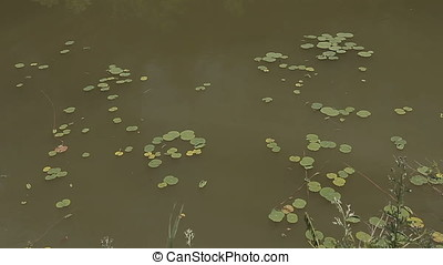 Floating Lily Pad on Pond Water Surface