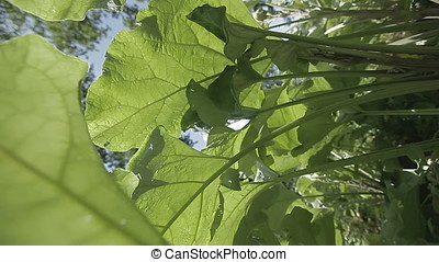 Huge Leaves Low Angle Point of View - Low angle point of...