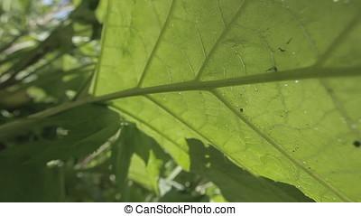 Low Angle POV Huge Leaf - Huge leaf. Low angle POV shot.