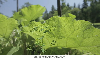 Small against Huge Leaves Plant - Small leaves plant against...