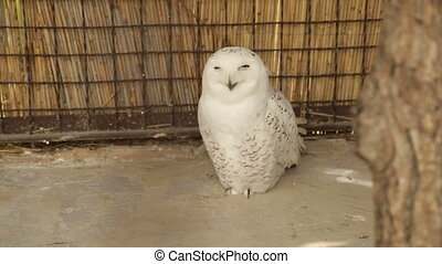 White Owl in a Cage