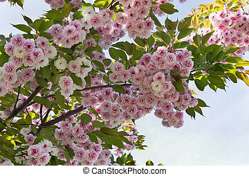 Japanese cherry tree - with pink flowers of Japanese cherry...