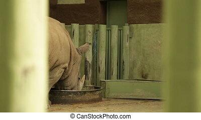 Rhinoceros takes food - Large rhinoceros in a cage, rear...