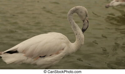 White flamingo cleans feathers on the lake - White flamingo...