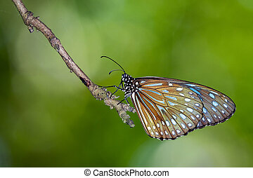 Image of a butterfly (The Pale Blue Tiger) on nature...