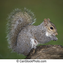 bushy tail - tree squirell out on a limb eating a meal