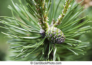 Young pine tree, close-up.