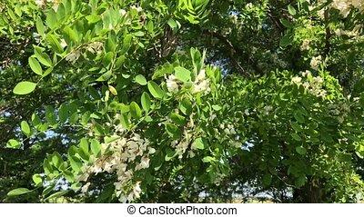 Acacia tree - Flowering acacia trees, summer day